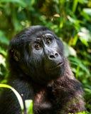 Verticale d'un gorille de montagne à une distance courte Gorilla Close vers le haut de portrait Photo stock