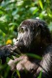 Verticale d'un gorille de montagne à une distance courte Gorilla Close vers le haut de portrait Photo libre de droits