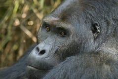 Verticale d'un gorille de terre en contre-bas orientale Photos libres de droits
