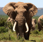 Verticale d'un grand éléphant de Bull de tusker Photo libre de droits