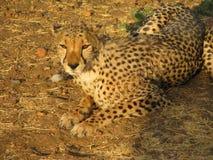 Verticale d'un guépard africain sauvage Image stock