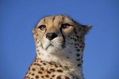 Verticale d'un guépard Photo stock