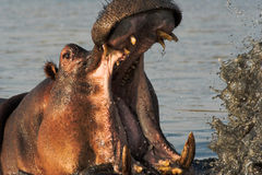 Verticale d'un hippopotamus Photo stock
