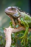 Verticale d'un iguane Photographie stock