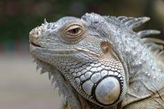 Verticale d'un iguane Photos libres de droits