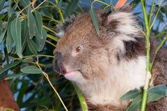 Verticale d'un jeune koala, Australie Photos stock