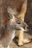 Verticale d'un kangourou Images stock