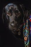 Verticale d'un Labrador noir Photos stock