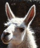 Verticale d'un lama Photo libre de droits