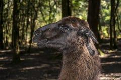 Verticale d'un lama Photographie stock libre de droits