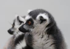 Verticale d'un lemur Photographie stock libre de droits
