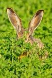 Verticale d'un lièvre de brun de séance Photographie stock libre de droits