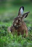 Verticale d'un lièvre de brun de séance (europaeus de lepus) Photographie stock libre de droits
