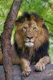 Verticale d'un lion Photos libres de droits