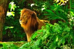 Verticale d'un lion Photographie stock