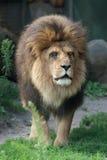 Verticale d'un lion Image libre de droits