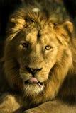 Verticale d'un lion Images libres de droits