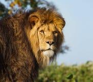 Verticale d'un lion africain Photographie stock
