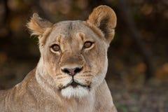 Verticale d'un lion sauvage en Afrique australe. Photos libres de droits