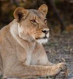 Verticale d'un lion sauvage en Afrique australe. Photo stock