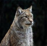 Verticale d'un lynx Photos libres de droits