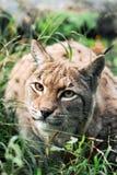 Verticale d'un lynx Images libres de droits