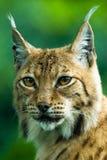 Verticale d'un lynx Image libre de droits