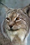 Verticale d'un lynx Photographie stock libre de droits