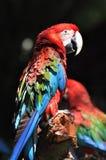 Verticale d'un macaw Photographie stock libre de droits