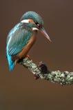 Verticale d'un martin-pêcheur Photographie stock libre de droits