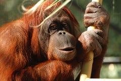 Verticale d'un orang-outan de Bornean Images libres de droits