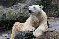Verticale d'un ours blanc Images libres de droits