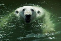 Verticale d'un ours blanc Photos libres de droits