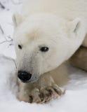 Verticale d'un ours blanc Plan rapproché canada image stock
