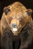 Verticale d'un ours de Brown image stock