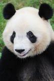 Verticale d'un panda Photographie stock libre de droits