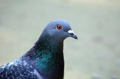 Verticale d'un pigeon Photo stock