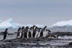 Verticale d'un pingouin d'Adelie Pingouins d'Adelie se dirigeant pour la mer images stock