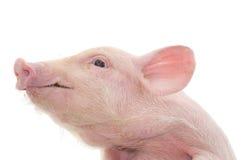 Verticale d'un porc images libres de droits