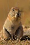 Verticale d'un rat siffleur Images libres de droits