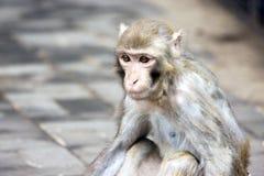 Verticale d'un singe Images libres de droits