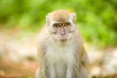 Verticale d'un singe Photo stock