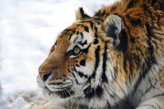 Verticale d'un tigre Photo stock