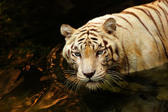 Verticale d'un tigre Image libre de droits