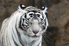 Verticale d'un tigre Photographie stock libre de droits