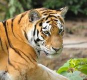 Verticale d'un tigre Photos stock