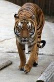 Verticale d'un tigre Images stock