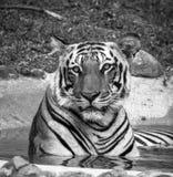 Verticale d'un tigre Photographie stock