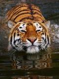 Verticale d'un tigre sibérien se baignant photographie stock libre de droits