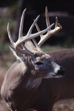 Verticale d'un type de whitetail Photos libres de droits
